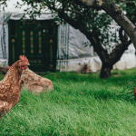 9 Tips For Keeping Chooks