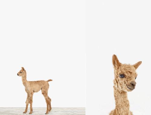 We Love….Llamas
