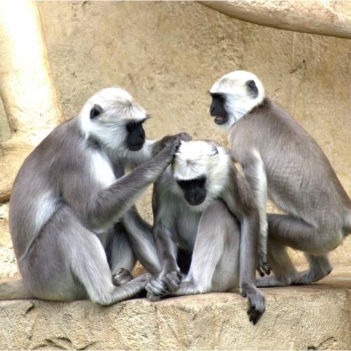 lice-monkeys2160