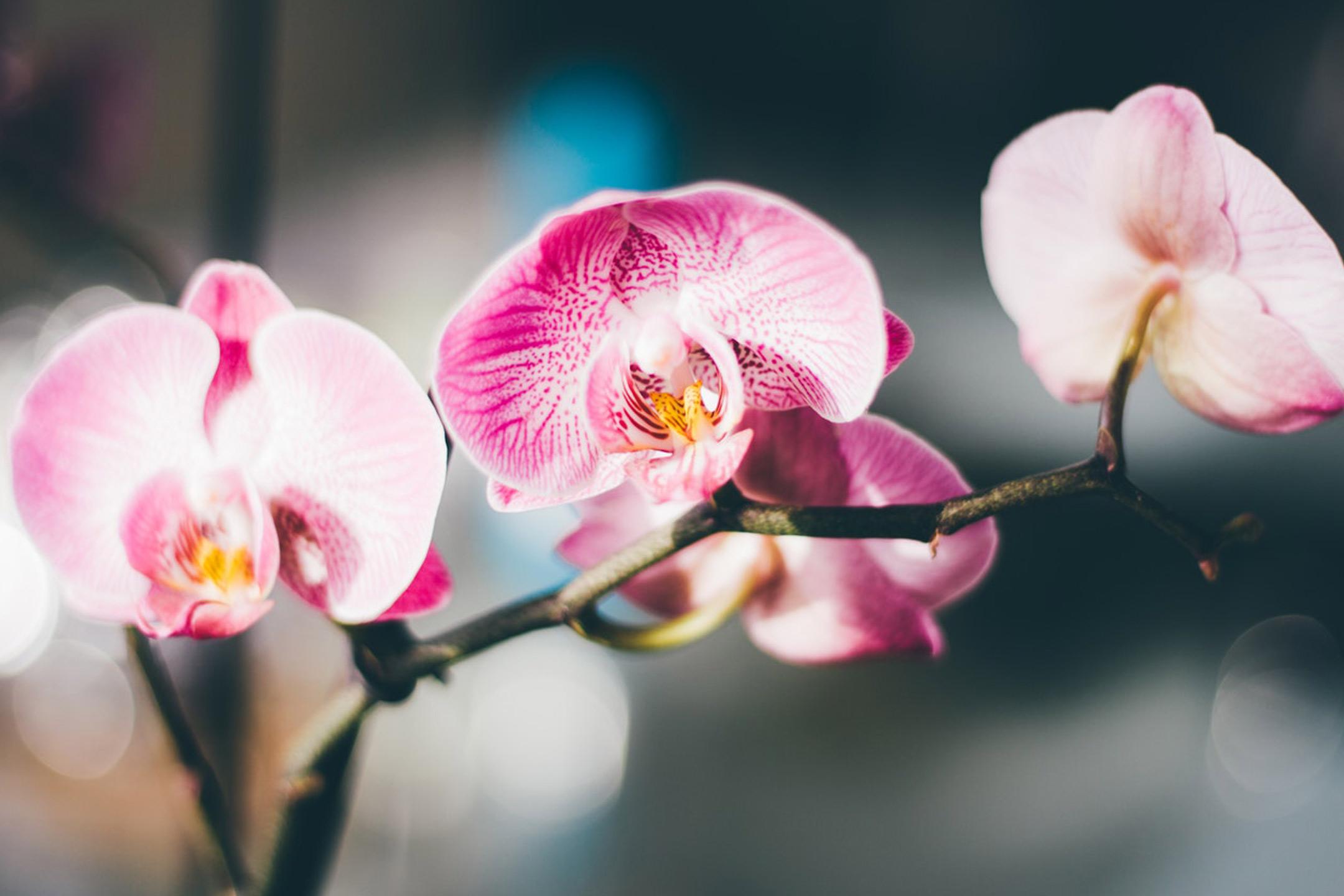 rareblooms-orchid2160