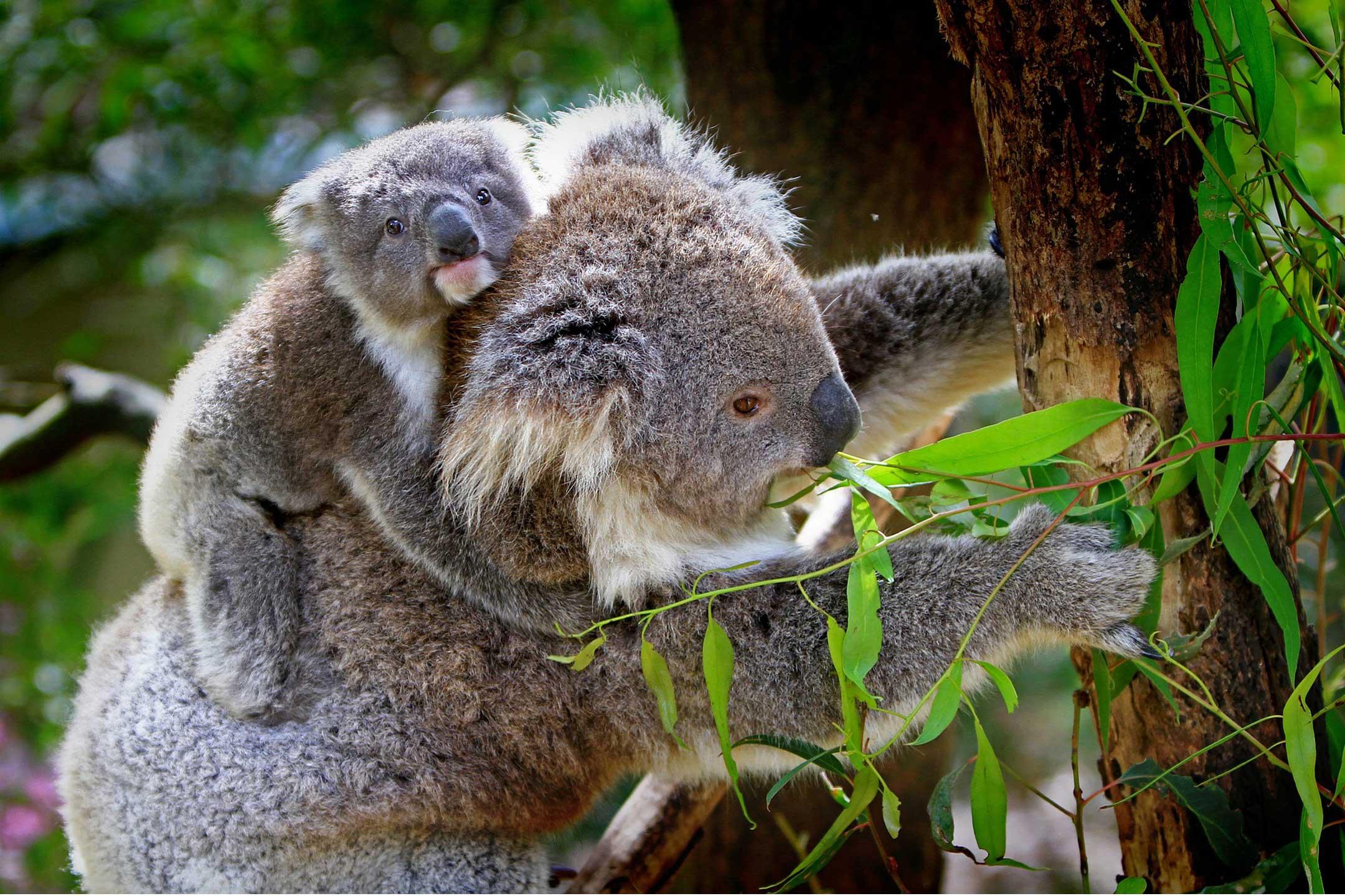 koala-baby-mother2160