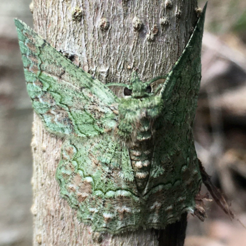 7-year-old-Jarrah-McGauran-and-his-stunning-image-of-a-camouflaged-moth2160