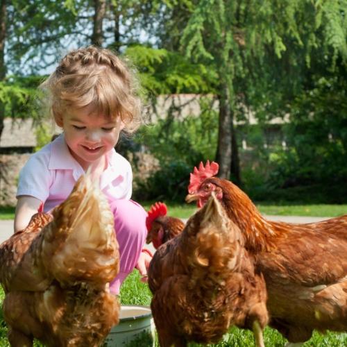 child-feeding-backyard-chickens2160