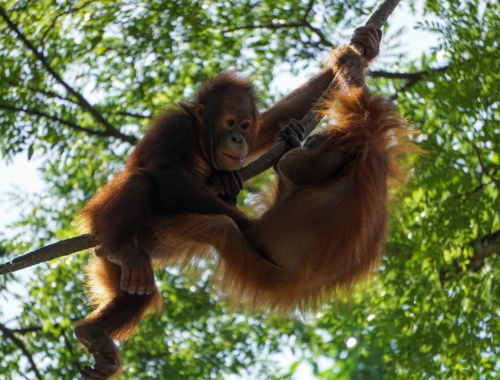 orangutan-art-project-1