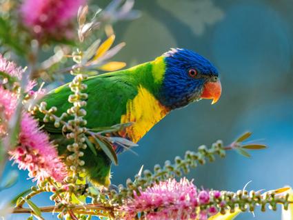 trevor-mckinnon-parrot1440