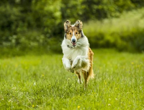 lassie-come-home-lassie