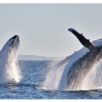 Port Macquarie whales2160